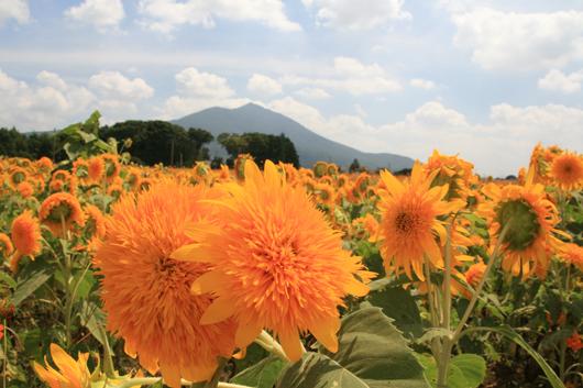 筑西市観光協会長賞「夏はひまわりが一番」