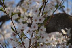 桜づつみ4.14-2