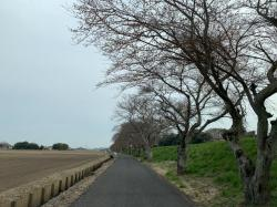 桜づつみ2019.3.25