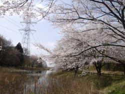 うわばみ池(桜満開)�@