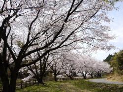 うわばみ池(桜満開)�A