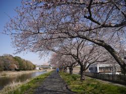 桜づつみ2019.4.3�@
