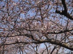 桜づつみ2019.4.3�A