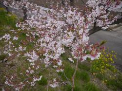 桜づつみ2019.4.14�A