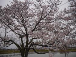 母子島遊水地2019.4.12�@