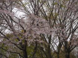 県西総合公園2019.4.12�A