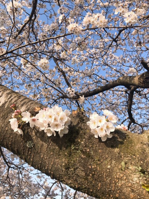0326桜づつみ1