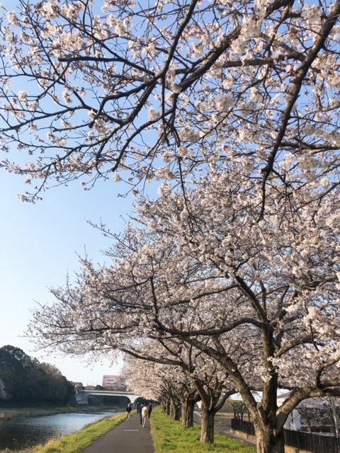 0326桜づつみ2