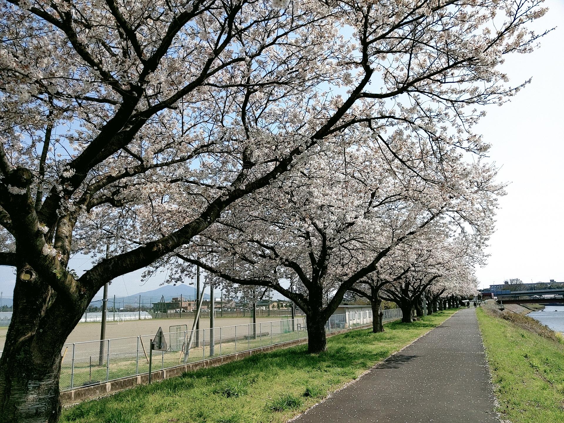 0403桜づつみ�A
