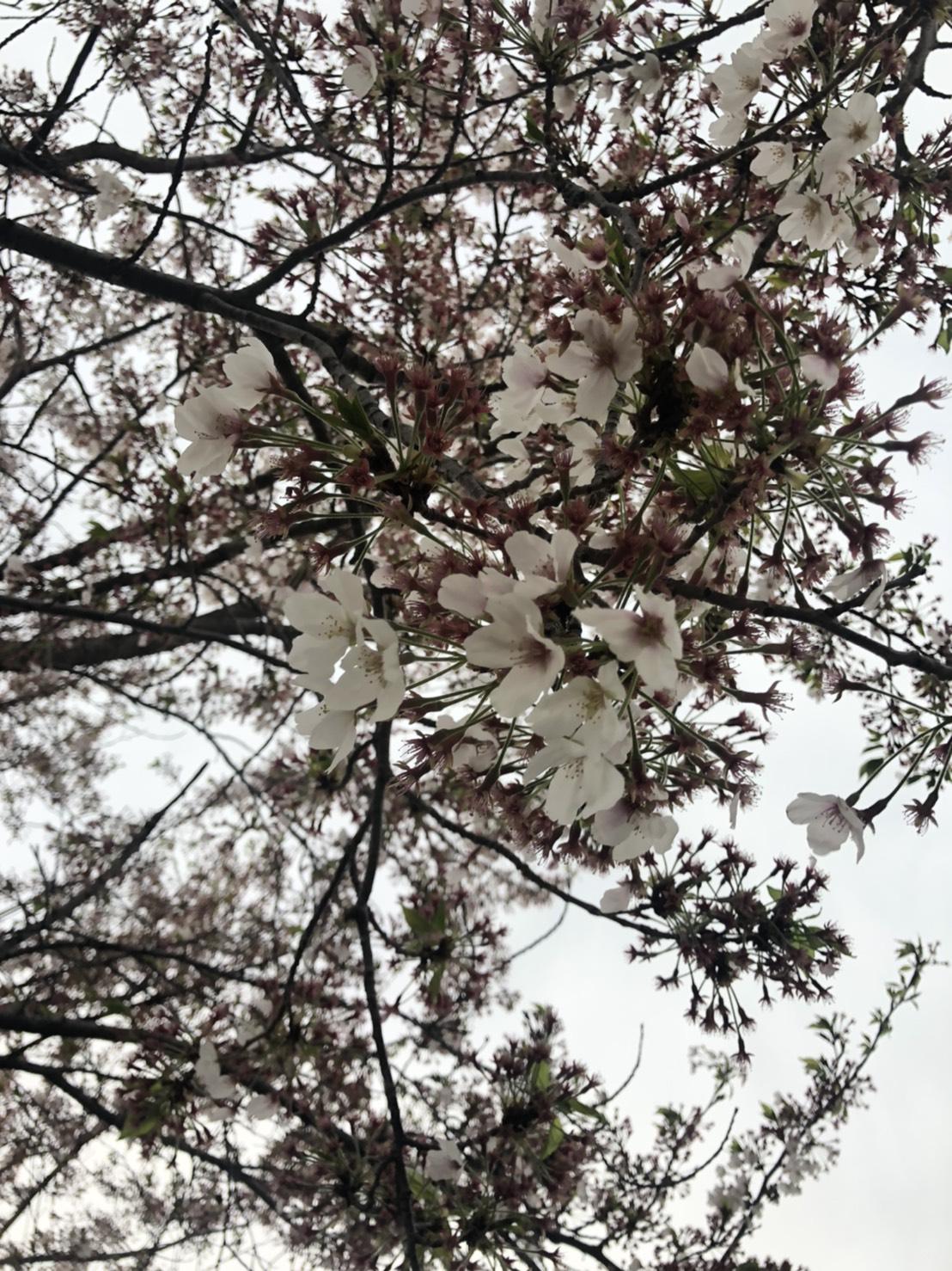 0408桜づつみ